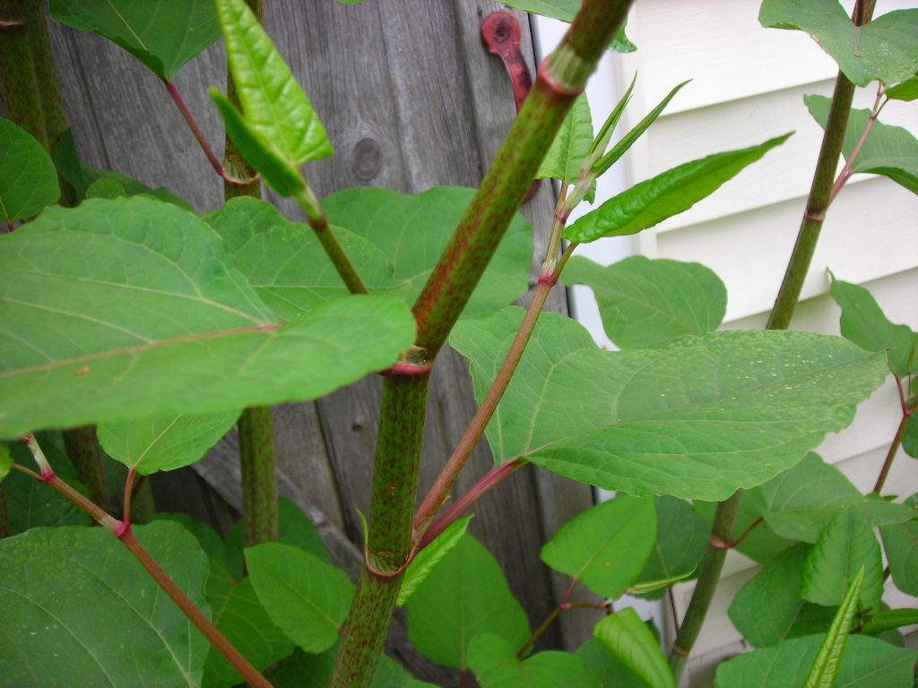 identifying japanese knotweed